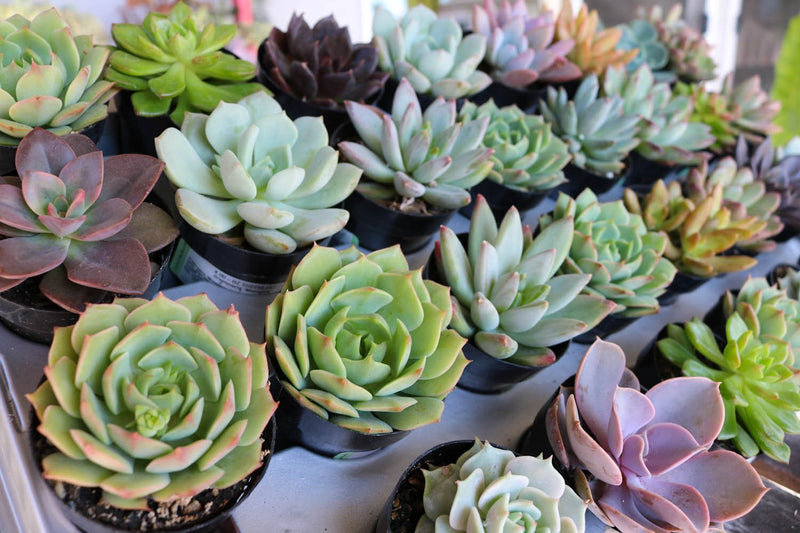 "2.5"" Rosette Succulents bulk wholesale succulent prices at the succulent source - 9"