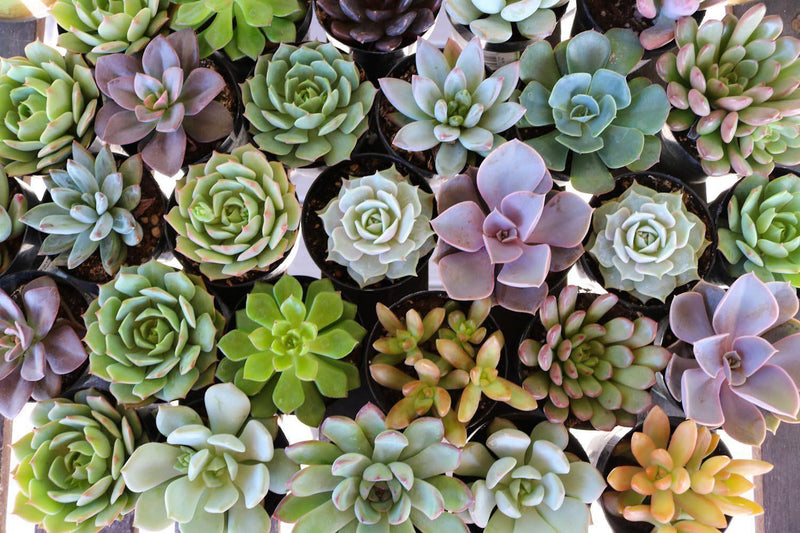 "2.5"" Rosette Succulents bulk wholesale succulent prices at the succulent source - 7"