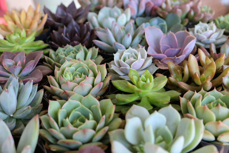 "2.5"" Rosette Succulents bulk wholesale succulent prices at the succulent source - 1"