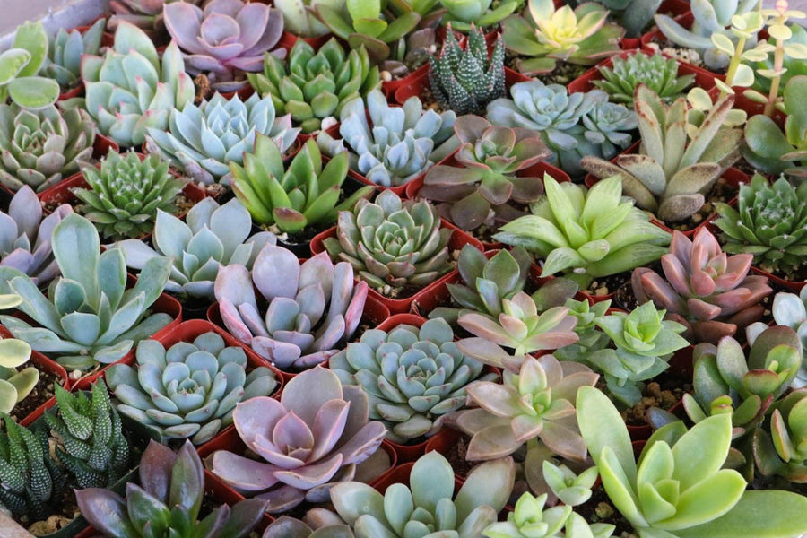 "2"" Assorted Succulents bulk wholesale succulent prices at the succulent source - 1"