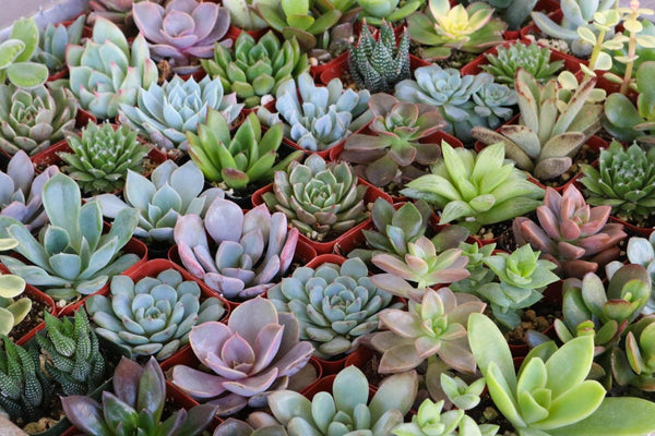 "2"" Assorted Succulents bulk wholesale succulent prices at the succulent source - 2"