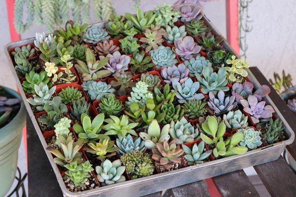 "2"" Assorted Succulents bulk wholesale succulent prices at the succulent source - 5"