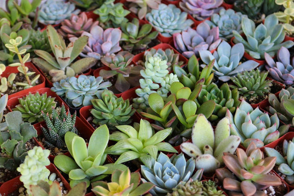 "2"" Assorted Succulents bulk wholesale succulent prices at the succulent source - 6"