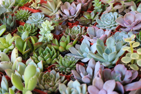 "2"" Assorted Succulents bulk wholesale succulent prices at the succulent source - 7"