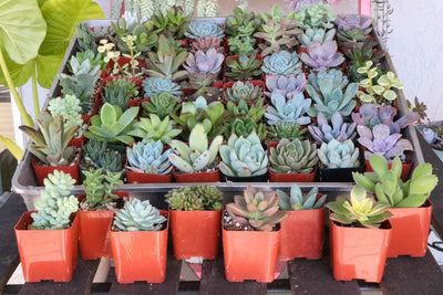 "2"" Assorted Succulents bulk wholesale succulent prices at the succulent source - 3"