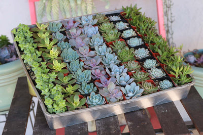 "2"" Wedding Succulents bulk wholesale succulent prices at the succulent source - 3"