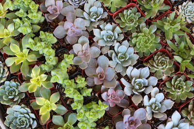 "2"" Wedding Succulents bulk wholesale succulent prices at the succulent source - 6"