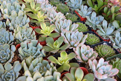 "2"" Wedding Succulents bulk wholesale succulent prices at the succulent source - 7"