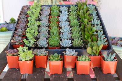 "2"" Wedding Succulents bulk wholesale succulent prices at the succulent source - 5"