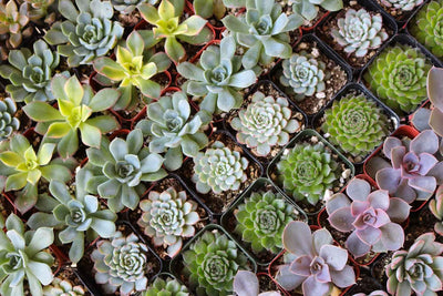 "2"" Rosette Succulents bulk wholesale succulent prices at the succulent source - 9"