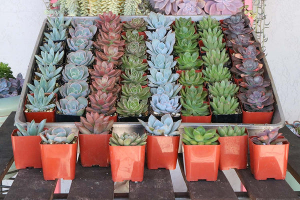 "2"" Rosette Succulents bulk wholesale succulent prices at the succulent source - 5"