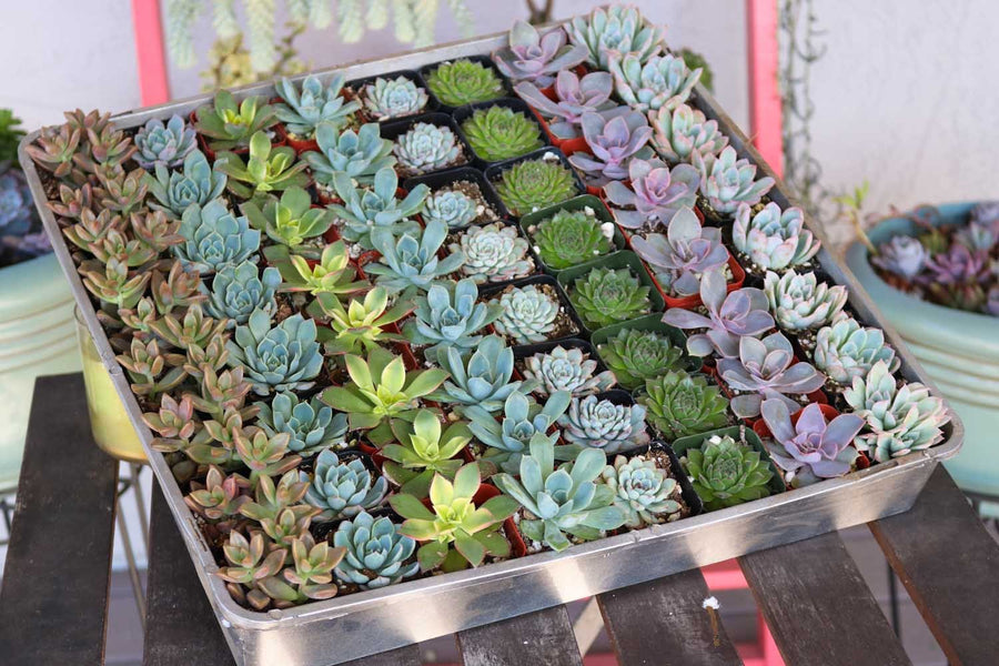 "2"" Rosette Succulents bulk wholesale succulent prices at the succulent source - 1"