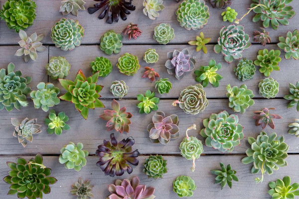 Cuttings - Wedding Succulents bulk wholesale succulent prices at the succulent source