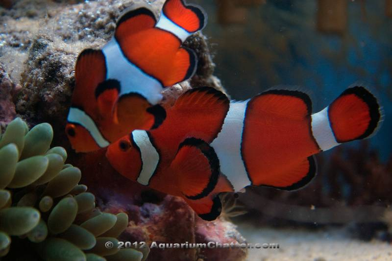 Image gallery ocellaris clownfish diet for What do clown fish eat