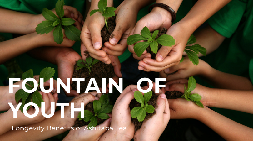 Fountain of Youth?                   the Amazing Longevity Benefits of Ashitaba Tea
