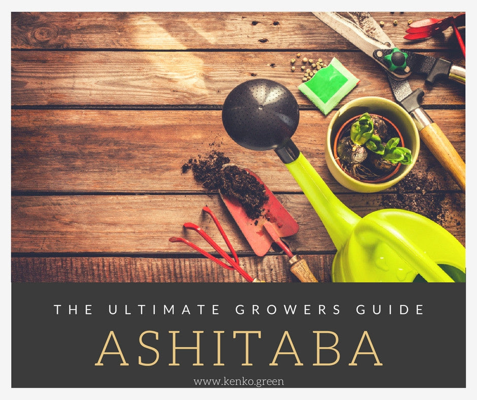 growing ashitaba plants