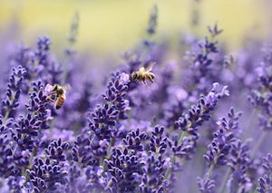 The Sweet Smell of Lavender