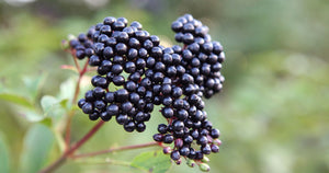 Organic Elderberry Syrup DIY Kit