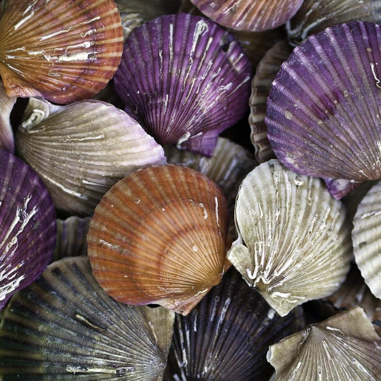 Scallops | Global Seafoods