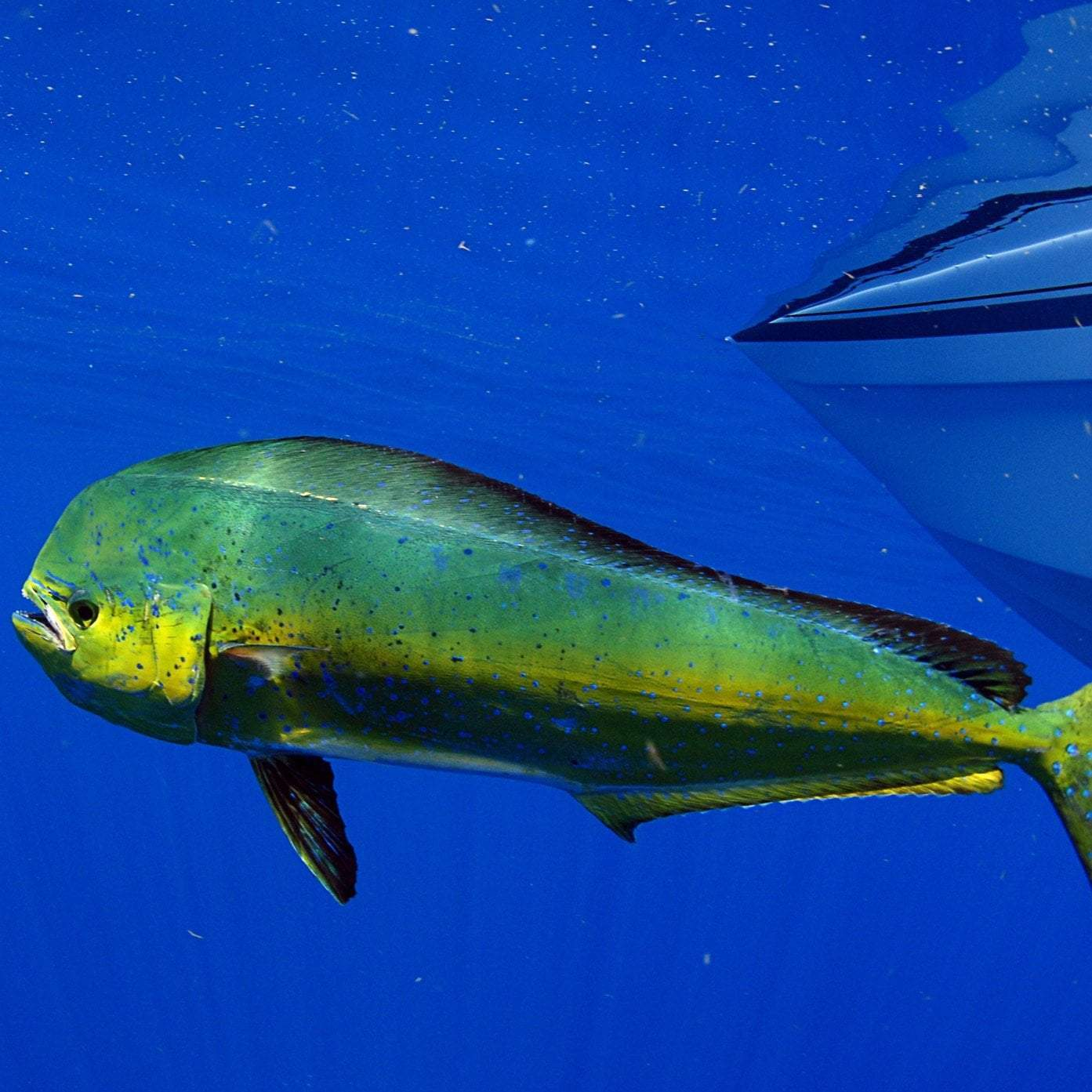 Health Benefits of Mahi Mahi | GlobalSeafoods
