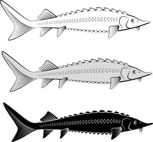 Caspian Sea Sturgeon Threat of Decline