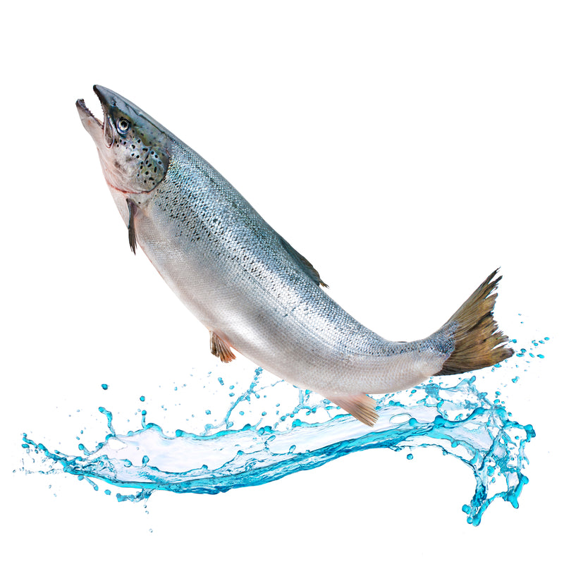 Atlantic Salmon - Farm Raised Salmon