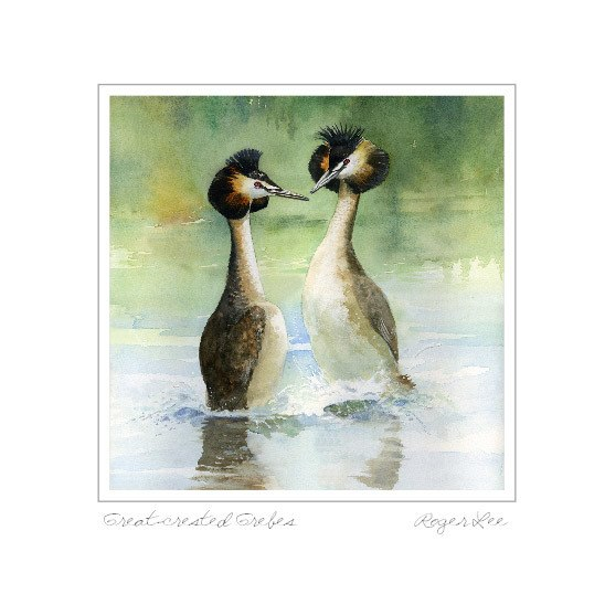 Great Crested Grebes - Rogerleeart