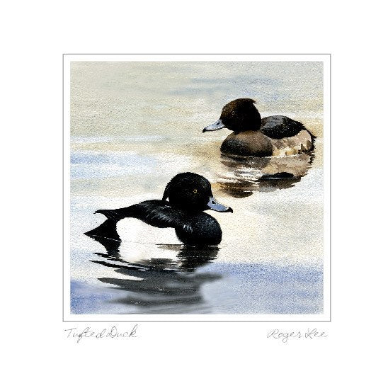Tuffted Ducks - Rogerleeart