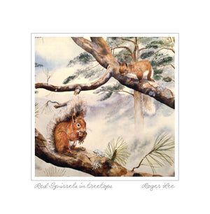 Red Squirrels in treetops - Rogerleeart