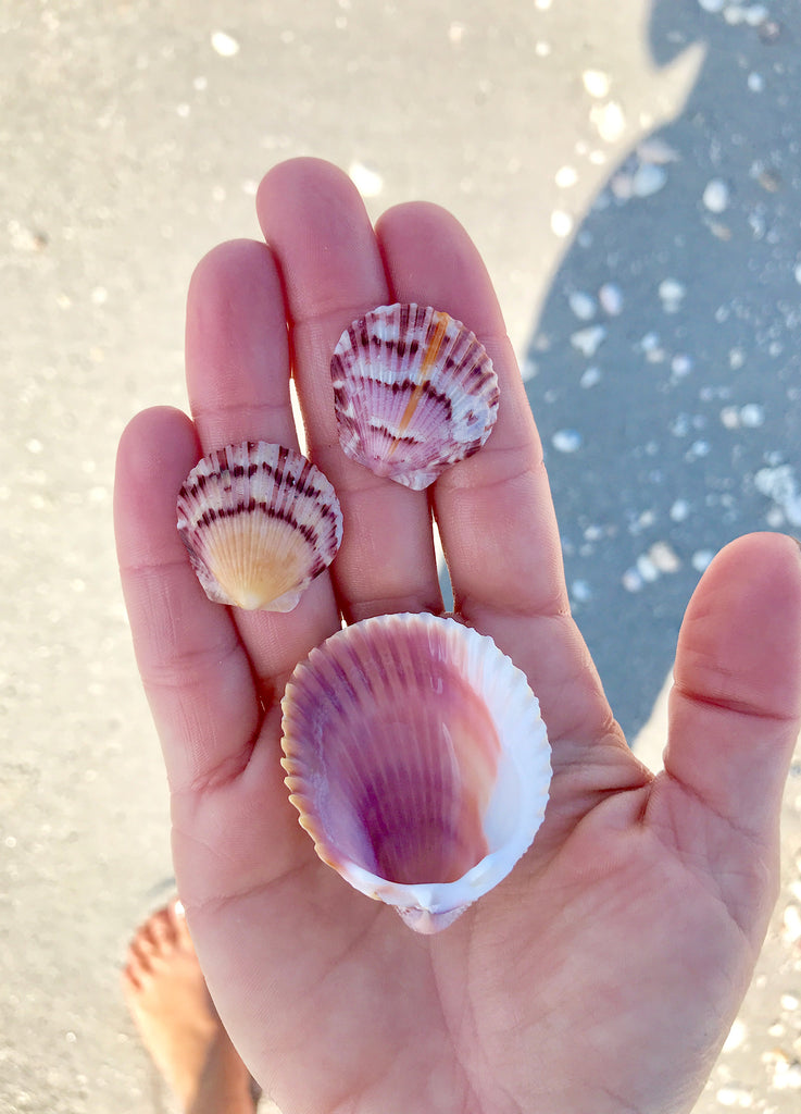 Scallop Shells in Sanibel - Day Trip Tips