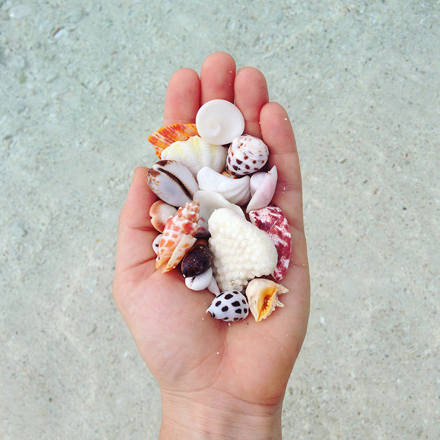 Moorea shells, found primarily on the beach or in the shallows off of the beach