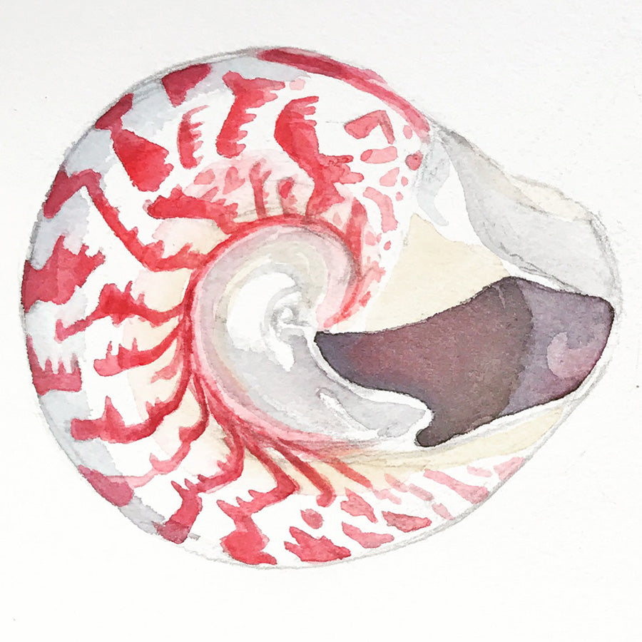 Watercolor painting of a top shell, red, pink lines