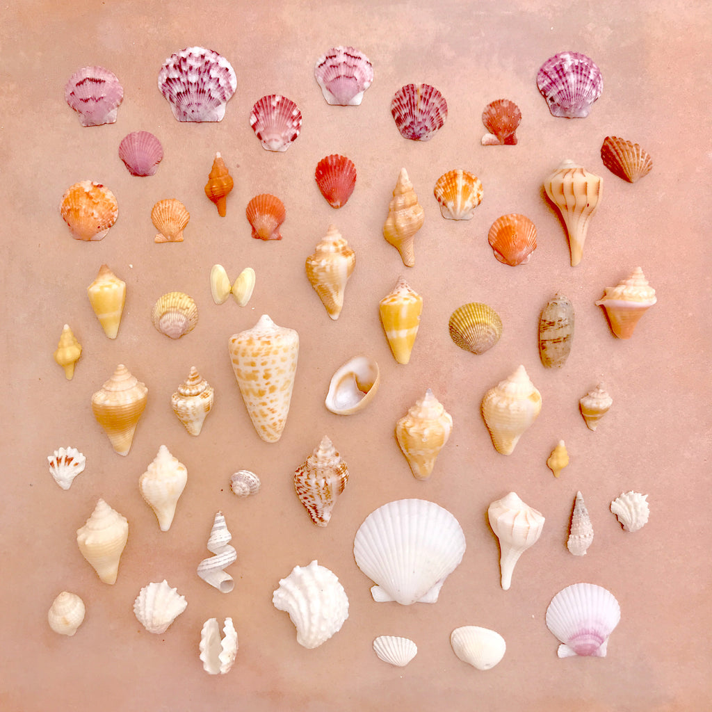 Seashells from Sanibel Florida, arrange in rainbow pattern