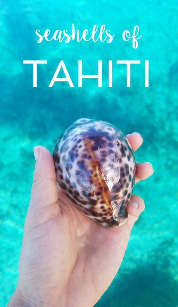 Seashells to find in Tahiti and Moorea