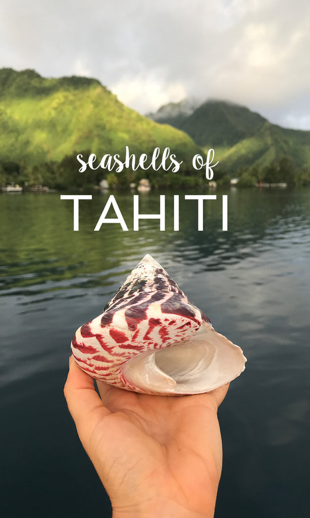 Seashell of Tahiti and Moorea, Beautiful Spiral Top