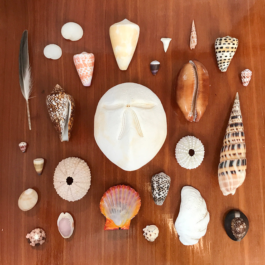 Tahiti shell collection with sea biscuit, cones, urchins, scallop