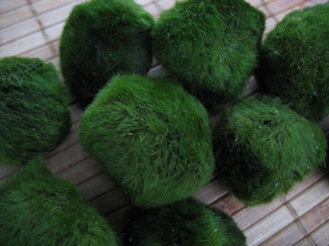 Marimo ball Moss Ball for freshwater aquarium