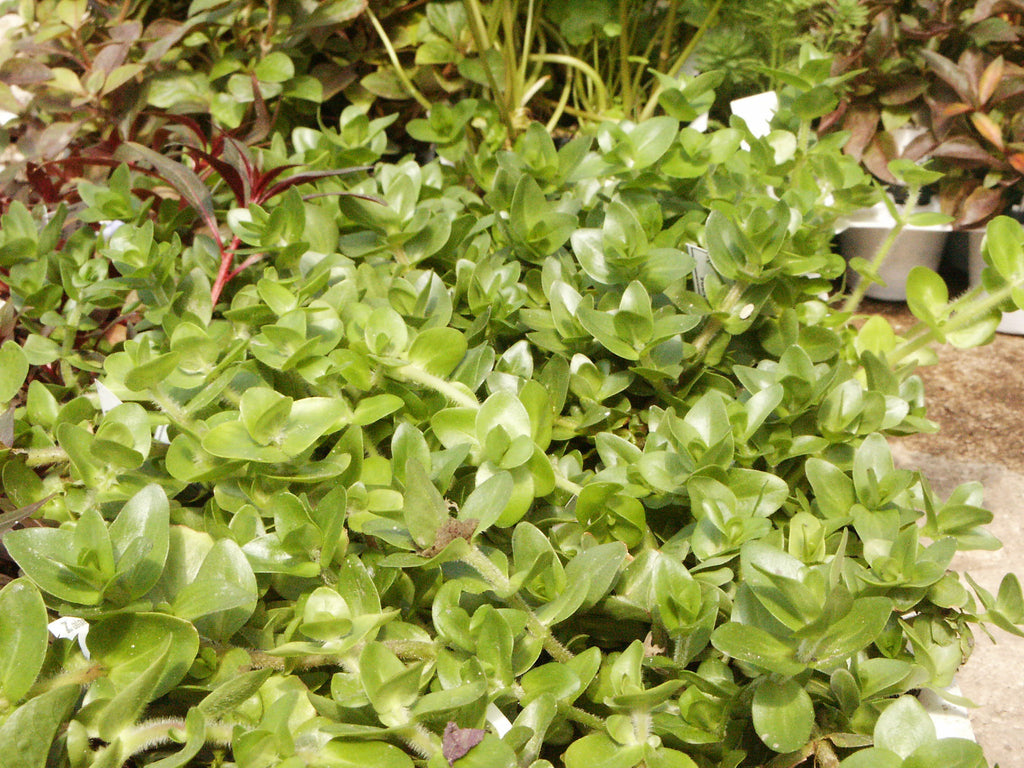 Bacopa amplexicaulis Water hyssop