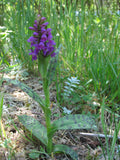Dactylorhiza maculata     1 Tuber - Aquarium and Pond Plants - 5
