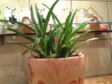 Aloe vera 3 cuttings - Aquarium and Pond Plants - 4