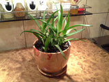 Aloe vera 3 cuttings - Aquarium and Pond Plants