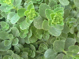 Sedum spurium - Caucasian stonecrop -  3 clumps - Aquarium and Pond Plants - 10