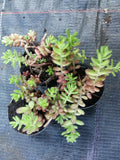 Sedum album f. Murale White Stonecrop  3 clumps - Aquarium and Pond Plants - 12