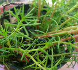 Bacopa myriophylloides potted -  live aquarium  plants -   1 pot - Aquarium and Pond Plants