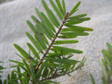 Abies alba - Silver fir - Kit  - 5 pre bonsai trees - Aquarium and Pond Plants