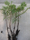 Bonsai Trees KIT No2 -   Abies Carpinus Quercus - Aquarium and Pond Plants