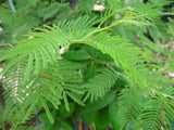 Acacia Dealbata,  Silver Wattle Mimosa     10 seeds - Aquarium and Pond Plants