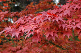 Acer Palmatum  Atropurpureum    10 seeds - Aquarium and Pond Plants - 2