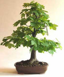 Acer pseudoplatanus - False plane tree - Kit  - 5 pre bonsai trees - Aquarium and Pond Plants - 6