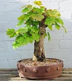Acer pseudoplatanus - False plane tree - Kit  - 5 pre bonsai trees - Aquarium and Pond Plants - 8